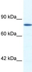 Western blot - ZNF214 antibody (ab49427)