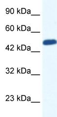 Western blot - ZNF239 antibody (ab49431)