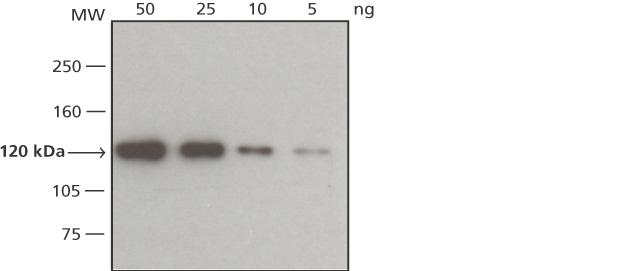 Western blot - VSV-G tag antibody [P5D4] (HRP) (ab49610)