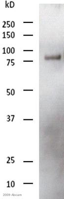 Western blot - Anti-DDDDK tag  antibody [M2] (HRP) (ab49763)