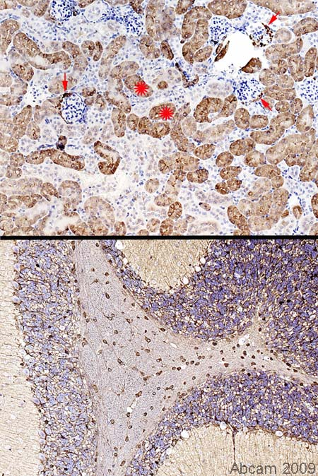 Immunohistochemistry (Formalin/PFA-fixed paraffin-embedded sections) - Glutamine Synthetase antibody (ab49873)
