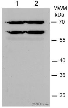 Western blot - Lamin A + C antibody [JoL5] - Nuclear Envelope Marker (ab5090)