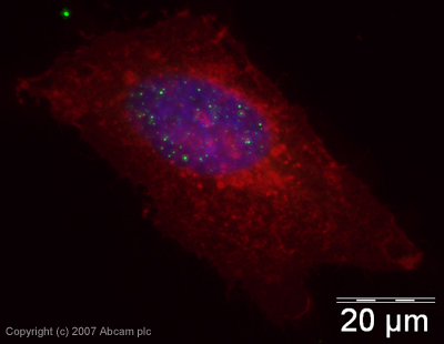 Immunocytochemistry/ Immunofluorescence - Histone H3 (citrulline 2 + 8 + 17) antibody [CitH3] - ChIP Grade (ab5103)