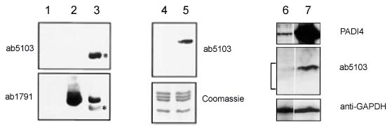 Western blot - Anti-Histone H3 (citrulline R2 + R8 + R17) antibody - ChIP Grade (ab5103)