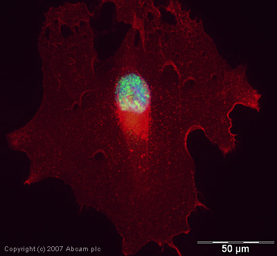 Immunocytochemistry/ Immunofluorescence - RNA polymerase II CTD repeat YSPTSPS (phospho S5) antibody - ChIP Grade (ab5131)