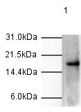 Western blot - Histone H3 (phospho T11) antibody (ab5168)