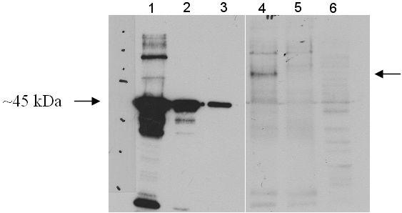 Western blot - Anti-HIPPI antibody (ab5205)