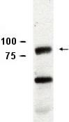 Western blot - Anti-Piwi antibody (ab5207)