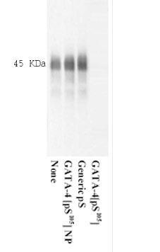 Western blot - GATA4 (phospho S105) antibody (ab5245)