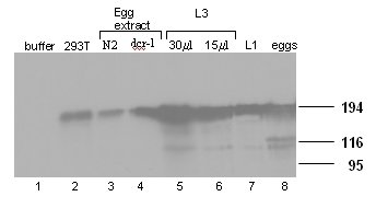 Western blot - RNA polymerase II CTD repeat YSPTSPS antibody [4H8] - ChIP Grade (ab5408)