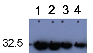 Western blot - Anti-GFP antibody (ab5449)