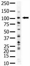 Western blot - PI 3 Kinase Class 3 antibody (ab5451)