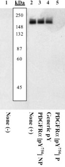 Western blot - Anti-PDGF Receptor alpha (phospho Y754) antibody (ab5460)
