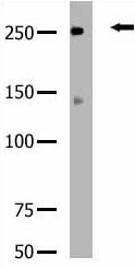 Western blot - ROS antibody (ab5512)