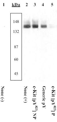 Western blot - Anti-c-Kit (phospho Y823) antibody (ab5634)