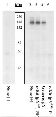 Western blot - Anti-c-Kit (phospho Y936) antibody (ab5635)
