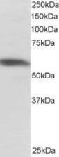 Western blot - PTBP1  antibody (ab5642)