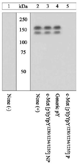 Western blot - Anti-Met (c-Met) (phospho Y1230 + Y1234 + Y1235) antibody (ab5662)