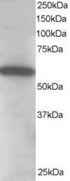 Western blot - Anti-Syntrophin alpha 1 antibody (ab5941)