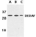Western blot - DEDAF antibody (ab5976)