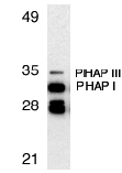 Western blot - PHAP antibody (ab5987)