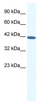 Western blot - SOX11 antibody (ab50194)