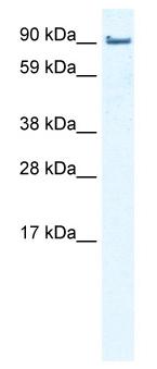 Western blot - EPLIN antibody (ab50196)