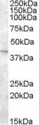 Western blot - SLC24A5 antibody (ab50421)