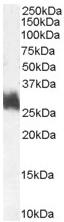 Western blot - FRA1 antibody (ab50426)