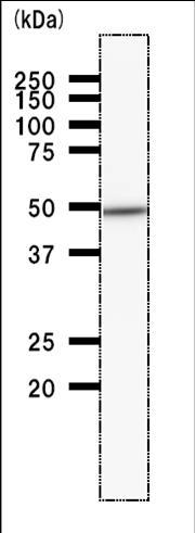 Western blot - DDX39 antibody [2252C4a] (ab50697)