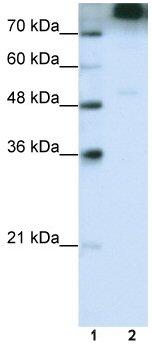 Western blot - eIF3B antibody (ab50709)