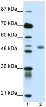 Western blot - Deformed Epidermal Autoregulatory Factor 1  antibody (ab50719)