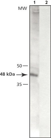 Western blot - gamma Tubulin antibody (ab50721)