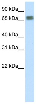Western blot - ZFP64 antibody (ab50724)