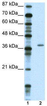 Western blot - ZNF444 antibody (ab50727)