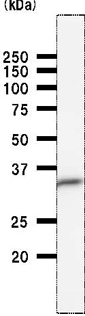 Western blot - EIF2S1 antibody [EIF2S1A2B8] (ab50733)