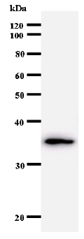 Western blot - GTF2A1 antibody [708C4a] (ab50821)