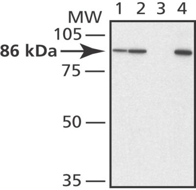 Western blot - Mitofusin 2 antibody (ab50838)