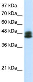 Western blot - ZNF785 antibody (ab50868)
