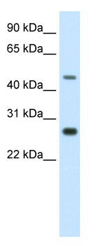 Western blot - SPZ1 antibody (ab50870)