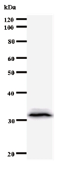 Western blot - TFAP4 antibody [961C5a] (ab50881)