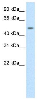 Western blot - Dmrta1 antibody (ab50911)