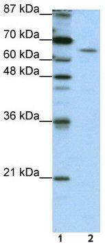 Western blot - Staufen antibody (ab50914)