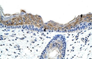 Immunohistochemistry (Paraffin-embedded sections) - SRP19 antibody (ab50932)