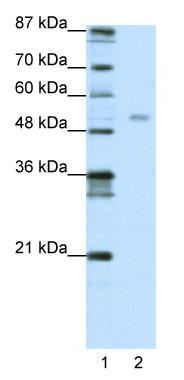 Western blot - TEAD4 antibody (ab50945)