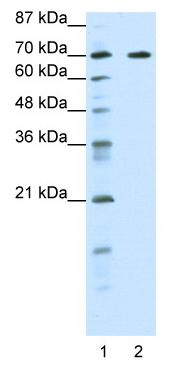 Western blot - ILF1 antibody (ab50946)