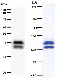 Western blot - MCAF antibody [2052C2a] (ab50956)