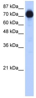 Western blot - ZNF16 antibody (ab51009)