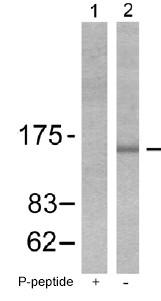 Western blot - Bcr (phospho Y177) antibody (ab51040)