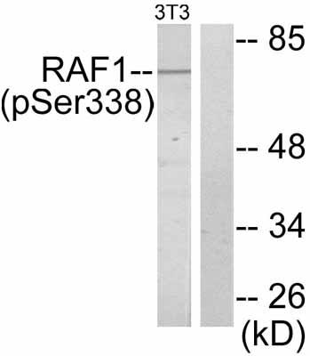 Western blot - Raf1 (phospho S338) antibody (ab51042)